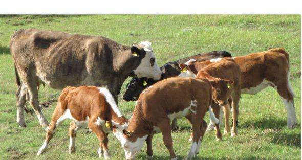 Kuvassa on lehmiä ja vasikoita laitumella.